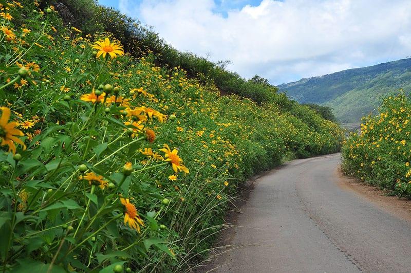 Cung đường săn hoa Dã Quỳ đẹp - Đà Lạt tháng 9