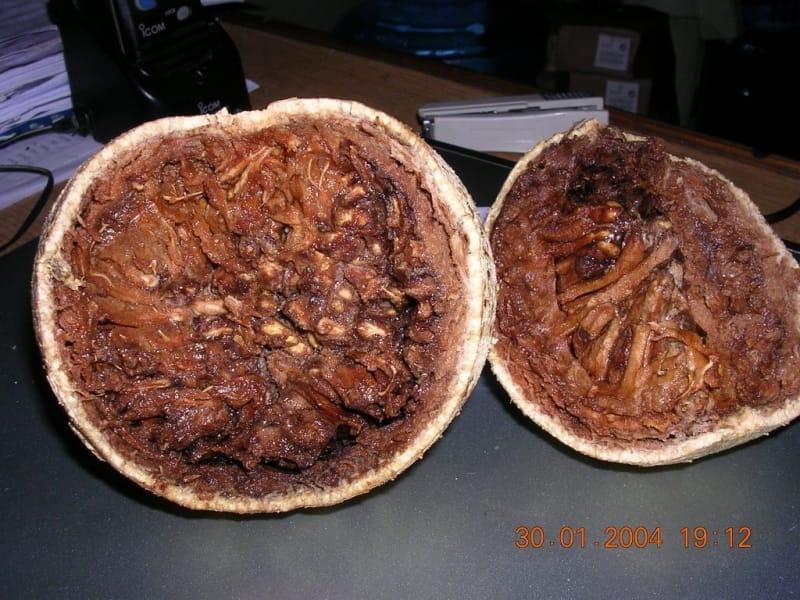 Trái quách đặc sản Trà Vinh