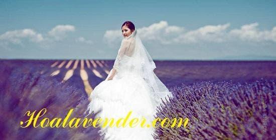 bán sỉ hoa lavender