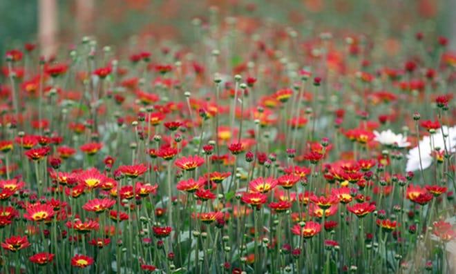 Hoa Mê Linh